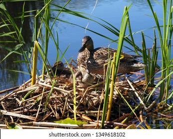 Duck with ducklings in the nest in the water on a sunny day