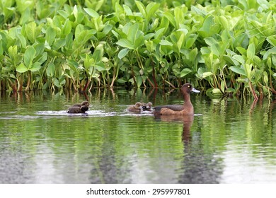 Duck with ducklings on the lake in Siberia
