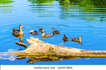 Duck with ducklings on water. Duck family on water. Duck ducklings water scene. Ducklings with mama duck