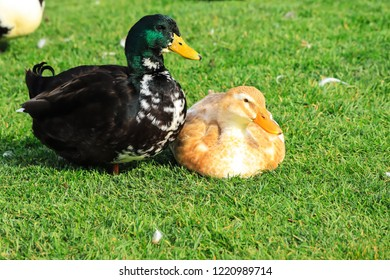 A duck family, a big black drake and a yellow duck are sitting  on a green lawn. Poultry on a farm in the village. Waterfowl birds