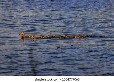 duck family in a lake swimming