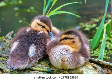 Duck family, the mother with her ducklings
