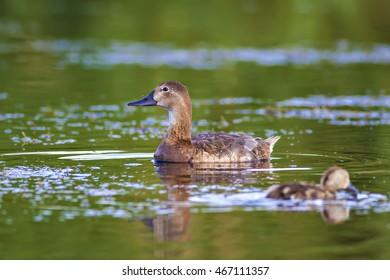 Duck family. Natural green lake water background. Birds: Common Pochard. Aythya ferina.