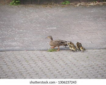 Duck family on the road
