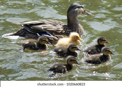 duck family with one yellow duckling standing out as different