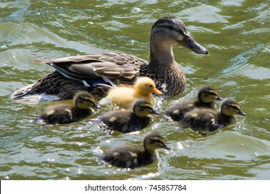 duck family with yellow duckling in the middle of the group
