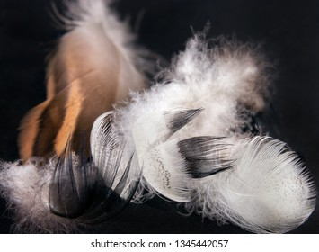 Duck feathers on a black background. Close up image