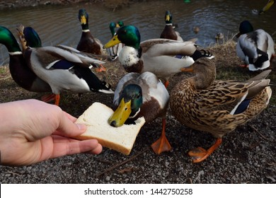 Duck Bread Images Stock Photos Vectors Shutterstock