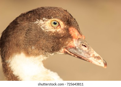 Duck Female Face. Head and face of big domestic Muscovy duck.