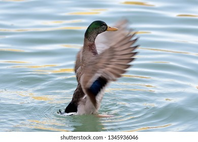 Duck flapping its wings in a pond of turquoise waters