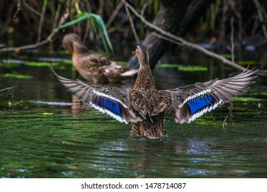 A duck flaps its wings. Photographed close-up.