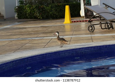Duck flew to the pool