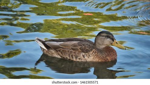 A Duck Floating on Lake Washington in Kirkland Washington