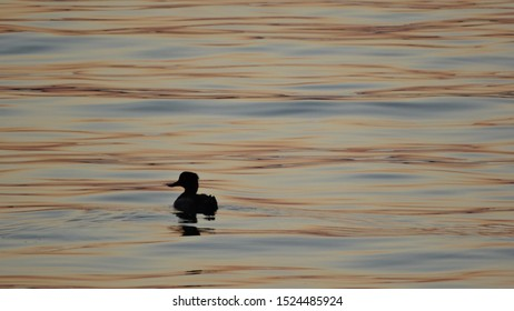duck floating in the sea at sunset