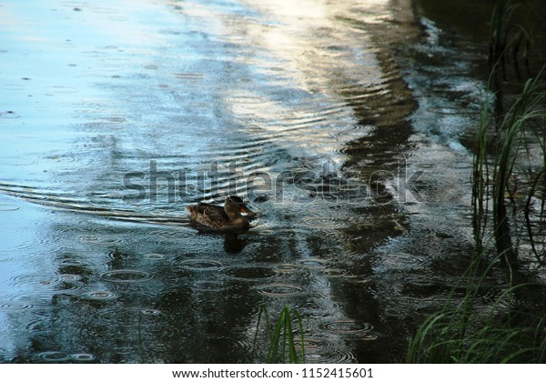 Duck floating in the water in the rain