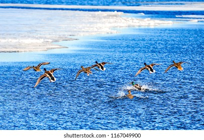 Duck flock takes off from water. Ducks takes off from water. Ducks flying