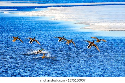 Duck flock takes off from water. Flock of ducks takes off. Ducks takes off. Ducks takes off from water