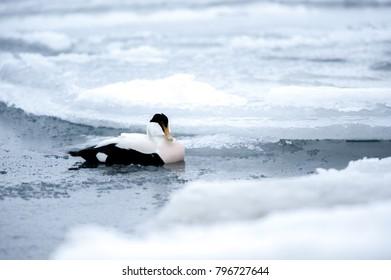 a duck in Jökulsárlón glacier