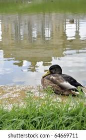 Duck with Gloriette, Schoenbrunn Palace, in reflection, Vienna, Austria