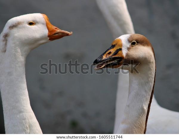 Duck -Goose near lake -near water- near green grass