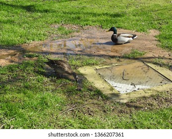Duck and gull eating sewerage from overflowing drain in Pheonix Park, Dublin.