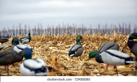 Duck hunting decoys in a corn field