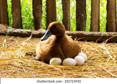 Duck incubator her eggs on the straw nest.
