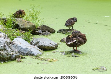 The duck island surrounded in the green algae water