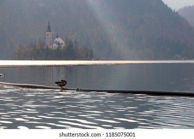 Duck at Lake Bled, Slovenia. The Church on the Bled island in the background. Selective focus, beautiful light. Lake Bled is popular travel destination in Slovenia.