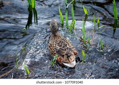Duck in the lake, mallard female