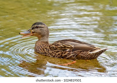 Duck in a Lake Swimming and Quacking