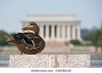 Duck at the Lincoln Memorial - enjoying a brief sunbathing break to dry off from going in the pools
