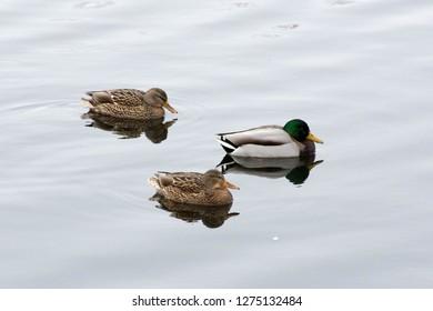 Duck. Mallard drake. Mallard duck female.