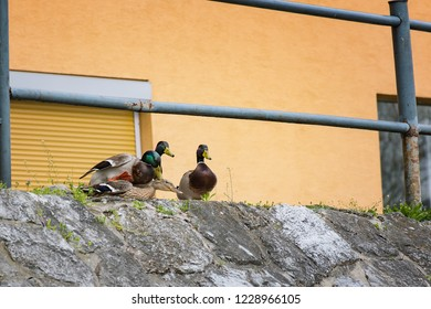 Duck mating - ducks trying to reproduce on river bank