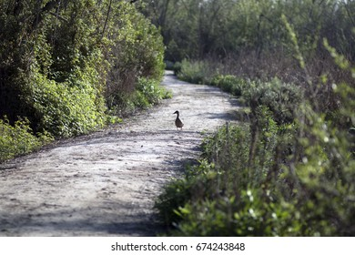 Duck in the middle of a path.