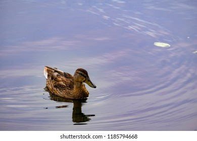 A duck in Moscow river