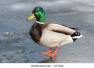A duck on ice