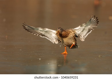 duck on the ice lake