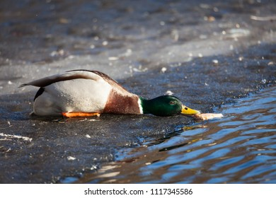 Duck on ice reaching for bread from water