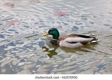 Duck on the lake water with the reflection of the foliage and flowers