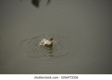 duck on the pond, boga lake, bandarban, Bangladesh
