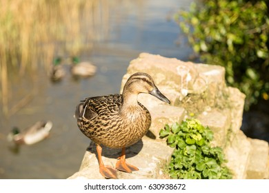 Duck on the river - side view
