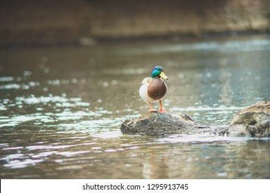 Duck on a River at WInter