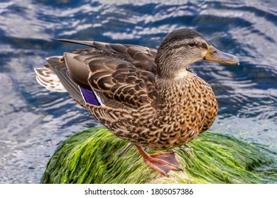Duck on the rock by the Baltic Sea