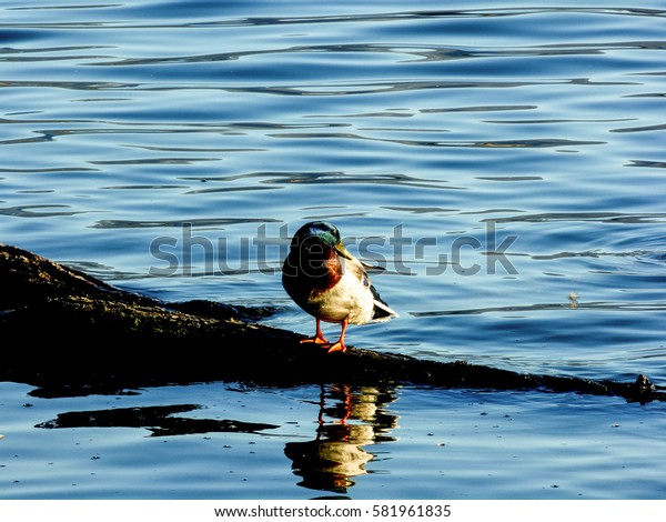 Duck on the rock is reflected in the blue water of the lake illuminated by the sunset reflections Bracciano Rome Italy