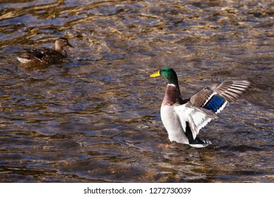 Duck on the water. Duck with open wings. Drake. Drake with open wings. Migratory birds. Bird with a green head. Duck.