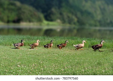 The duck parade