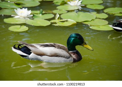Duck in the pond with white lilies