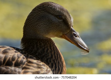 Duck preening with the feathers stuck  on its face. Detailed closeup of the ducks head and feathers.
