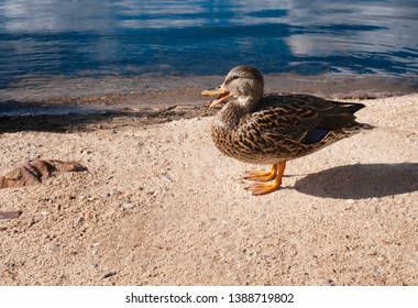 Duck quacking while sunbathing by shore